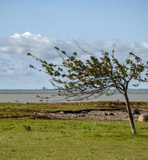 Puu tuules